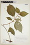 Clidemia petiolaris (Schltdl. & Cham.) Schltdl. ex Triana, J. H. Beaman 6440, F