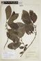 Siparuna thecaphora (Poepp. & Endl.) A. DC., P. C. Standley 89712, F