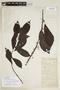 Siparuna thecaphora (Poepp. & Endl.) A. DC., W. A. Schipp 310, F