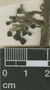 Siparuna thecaphora (Poepp. & Endl.) A. DC., G. M. Emrick 68, F