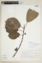 Siparuna thecaphora (Poepp. & Endl.) A. DC., M. Rosas R. 1369, F