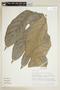 Artocarpus altilis (Parkinson) Fosberg, M. Nee 29786, F