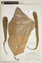 Artocarpus communis J. R. Forst. & G. Forst., P. C. Standley 64224, F