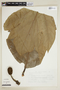 Artocarpus altilis (Parkinson) Fosberg, V. Vázquez T. 478, F