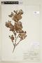 Eugenia foetida Pers., C. L. Lundell 7654, F