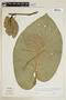 Piper auritum Kunth, G. K. Arp 4504, F