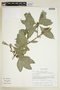Randia xalapensis M. Martens & Galeotti, M. Nee 26179, F