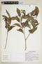 Psychotria pubescens Sw., F. Balam 492, F