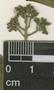 Psychotria pubescens Sw., P. Ventur 110, F