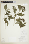 Psychotria pubescens Sw., C. Whitefoord 2028, F