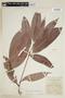 Pouteria izabalensis (Standl.) Baehni, H. H. Bartlett 12219, F