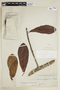Pouteria glomerata subsp. glomerata, H. M. Aguilar 81, F