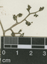 Laportea mexicana (Liebm.) Wedd., A. Aparicio 79, F