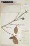 Calophyllum brasiliense var. rekoi (Standl.) Standl., W. A. Schipp 1232, F