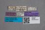 2819599 Anthobium parallelum ST labels IN