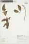 Psychotria pubescens Sw., BRAZIL, F
