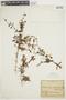 Asteranthera ovata (Cav.) Hanst., CHILE, F