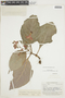 Chrysothemis villosa (Benth.) Leeuwenb., BRITISH GUIANA [Guyana], F