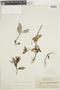 Codonanthe calcarata (Miq.) Hanst., BRITISH GUIANA [Guyana], F