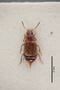 2819622 Anthobium hummleri ST d IN