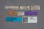 2819661 Phloeonomus congoensis ST labels IN