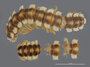 530 Amplinus eutypus HT D IN n60 hf17