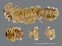 530 Amplinus eutypus HT V IN n60 hf20