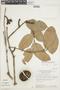 Tontelea nectandrifolia (A. C. Sm.) A. C. Sm., BRAZIL, F
