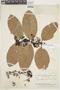 Tontelea ovalifolia image