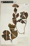 Hydrangea macrophylla (Thunb.) Ser., COLOMBIA, F