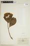 Hydrangea macrophylla (Thunb.) Ser., ECUADOR, F
