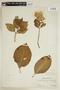 Hydrangea macrophylla (Thunb.) Ser., PERU, F