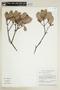 Humiria balsamifera Aubl., BRAZIL