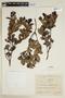 Humiria balsamifera var. minarum Cuatrec., BRAZIL