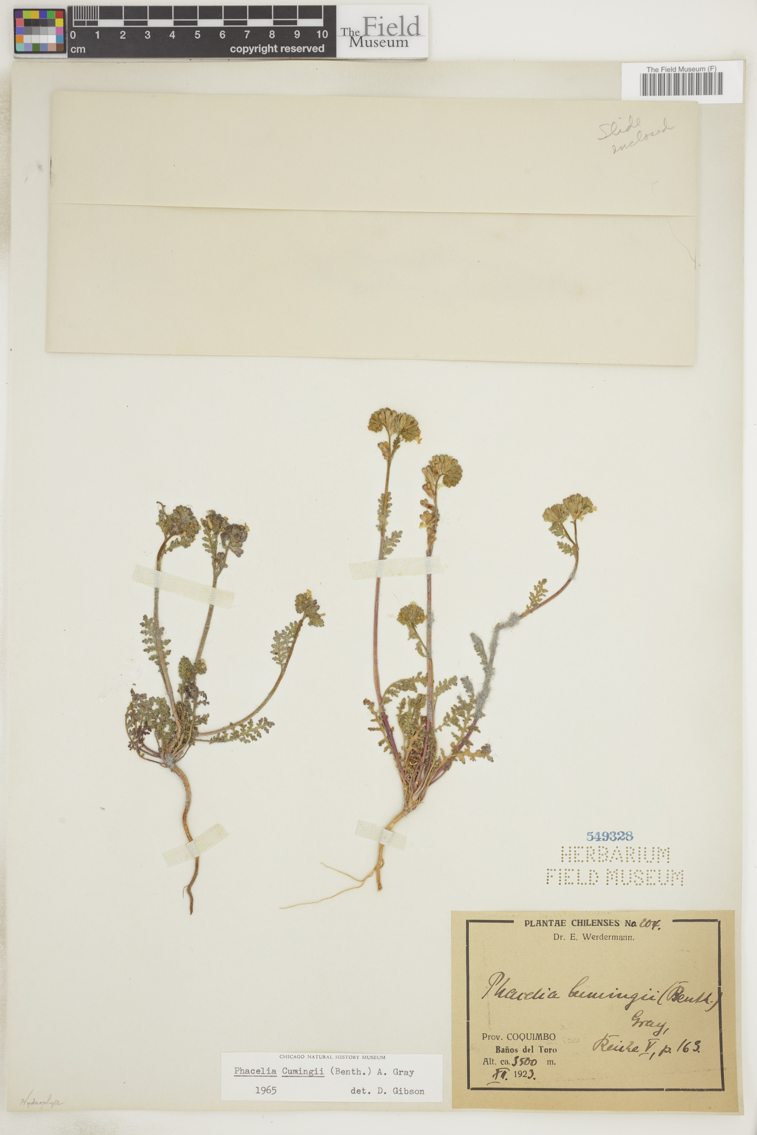 Phacelia cumingii image