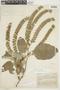 Wigandia urens var. caracasana (Kunth) D. N. Gibson, COLOMBIA, F