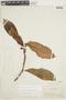 Drymonia anisophylla L. E. Skog & L. P. Kvist, PERU, F