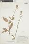 Gloxinia sylvatica image