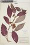 Paradrymonia maculata (Hook. f.) Wiehler, BRITISH GUIANA [Guyana], F
