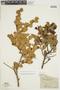 Griselinia jodinifolia image