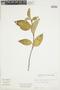 Griselinia racemosa image
