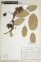 Hylenaea comosa image
