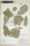 Hylenaea praecelsa image