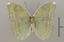 124856 Euphaedra harpalyce v IN