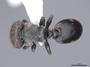2840715 Cephalotes specularis PT D IN