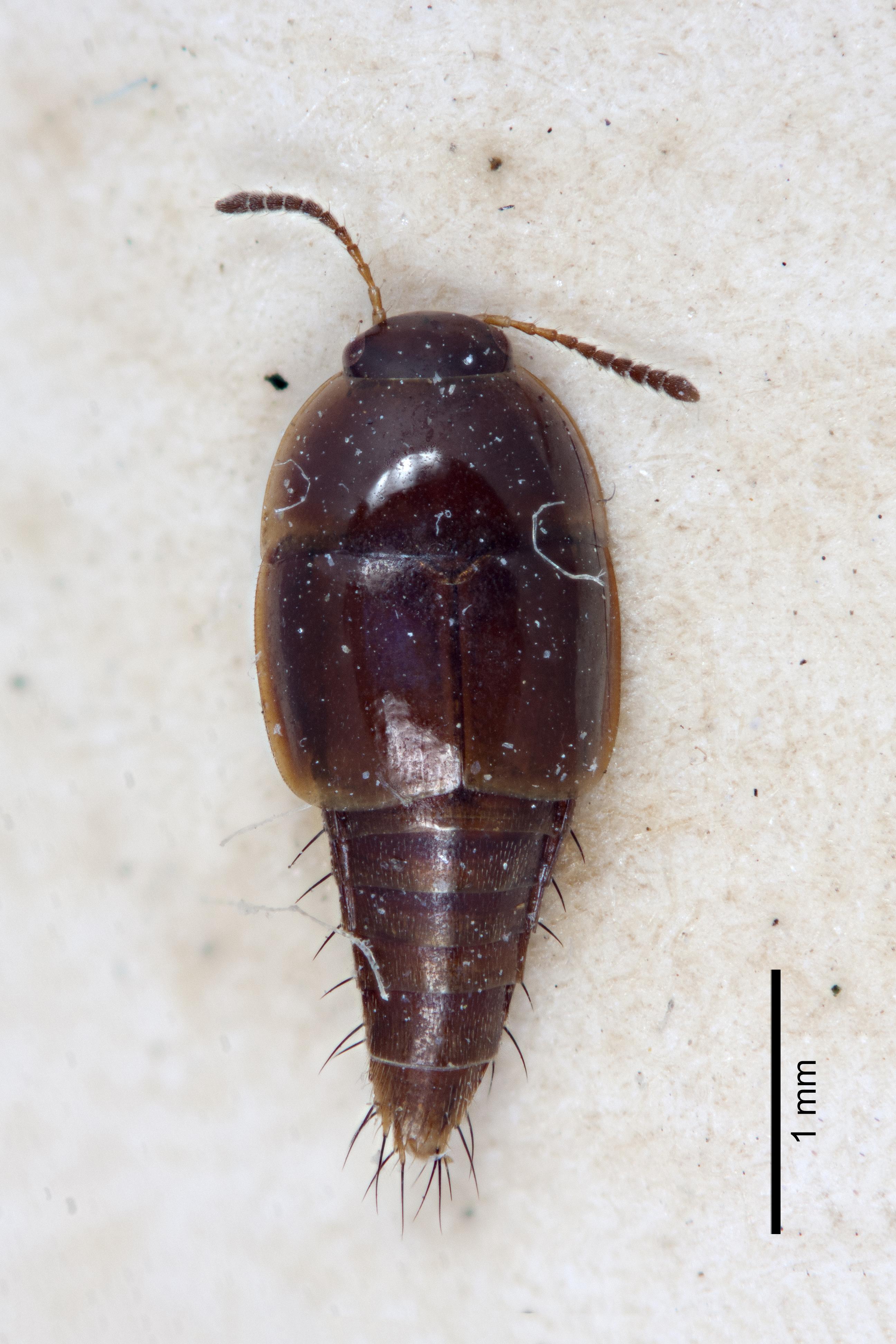Image of Coproporus subglaber