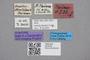 2819249 Stenus plaumanni ST labels IN