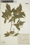 Duvernoia paranaensis Rizzini, Brazil, G. G. Hatschbach 14717, F