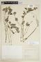 Blechum pyramidatum (Lam.) Urb., COLOMBIA, F