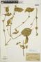 Dicliptera peruviana image